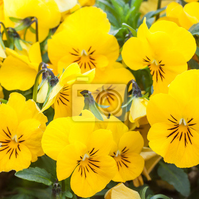 Wall mural Yellow color pansies