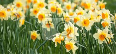 Wall mural Yellow daffodils