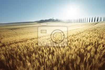 yellow field of wheat and farm house, Tuscany, Italy