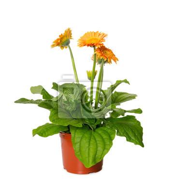 Yellow gerbera flower in flowerpot isolated on white