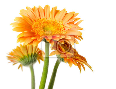 Yellow gerbera flowers isolated on white