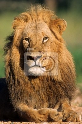Yong lion in savanna of South Africa