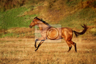 Wall mural Young bay horse runs gallop on the field
