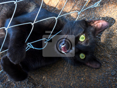 Young black cat plays with rabitz