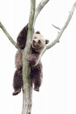Wall mural Young brown bear in a tree