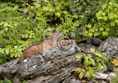 Young Lynx Stretched out on a Log