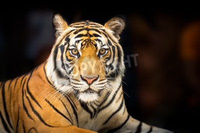 Wall mural Young siberian tiger on dark background in action of looking to the camera