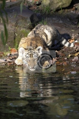Young Tiger on the water