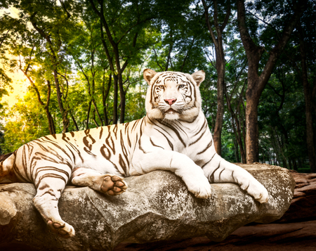 Wall mural Young white bengal tiger in the act of relax on stone at natural forest