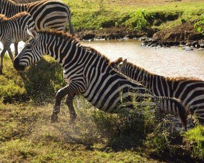 Wall mural Zebra a sair da água
