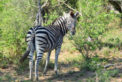 Wall mural Zebra in Africa Looking Back