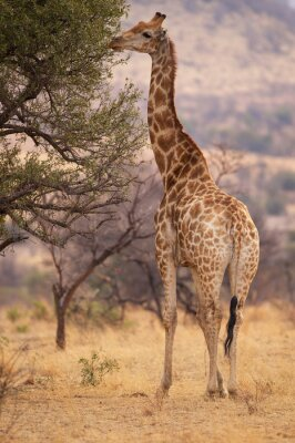 Poster A large giraffe eating leaves from a tree