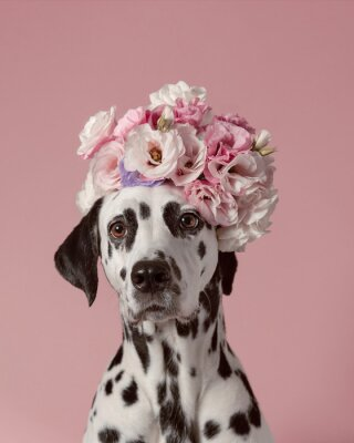 Poster Adorable dalmatian dog with wreath on pink background. Dog portrait with floral crown. I love you. Happy Valentines Day concept