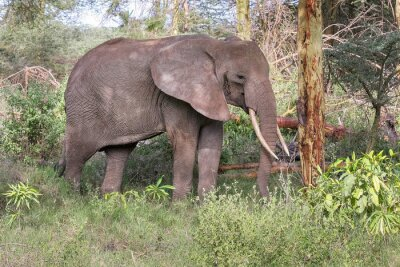 Poster Adult elephant with big tusks stand in profile near tree trunk. Lake Manyara National Park, Tanzania, Africa.