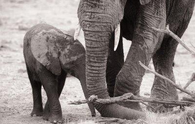 Poster African elephant calf