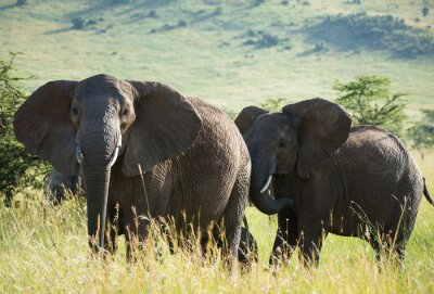 Poster African elephants on african savannah