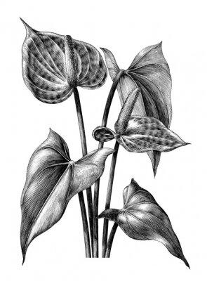 Poster Anthurium botanical vintage engraving illustration clip art isolated on white background