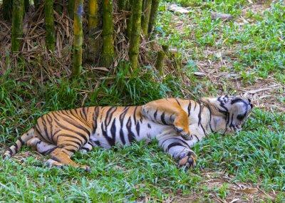 Poster Asian tiger.