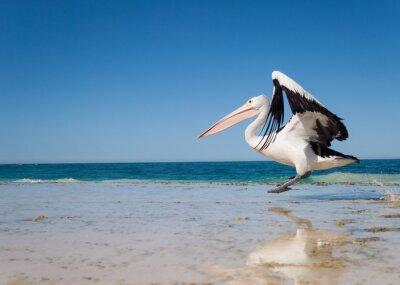 Poster Australia, Yanchep Lagoon, 04/18/2013, Australian pelican taking off in flight from an australian beach