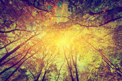 Poster Autumn, fall trees. Sun shining through colorful leaves. Vintage