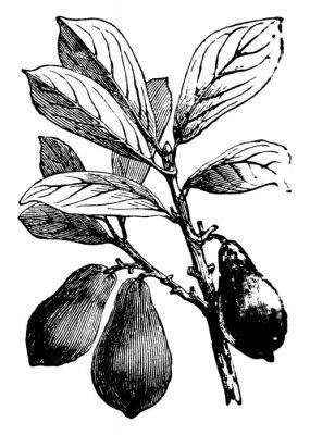 Poster Avocado vintage illustration.
