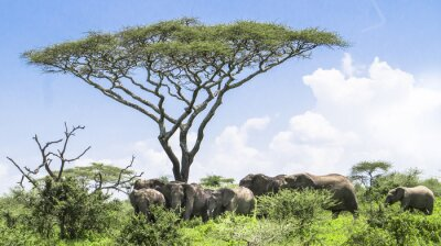 Poster baby elephant catching up with it's herd of elephants standing under an Acacia tree on the Serengeti Savannah landscape