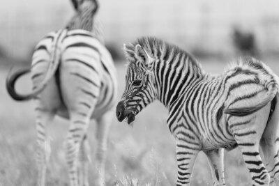Poster Baby Zebra