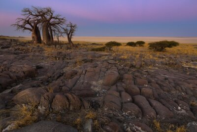 Poster Baobabs in the early morning light