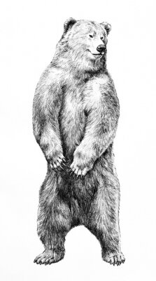 Poster Bear illustration of dangerous animal standing on hind legs, hand drawn grizzy bear pencil sketch, wild animal