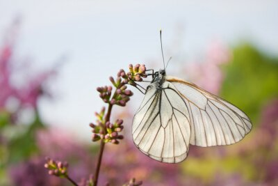 Poster beautiful butterfly sitting on flowers of lilac