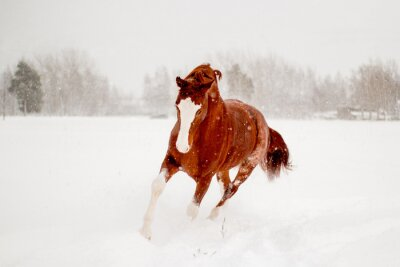 Poster Beautiful chestnut horse running in the snow field free