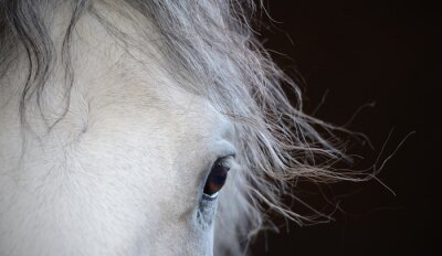 Poster Beautiful eye of the white horse