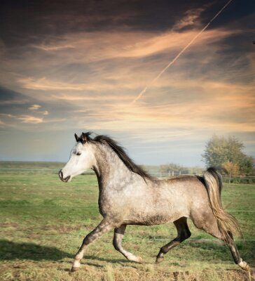 Poster beautiful gray stallion horse running on the loose over pasture background