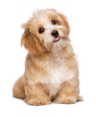 Poster Beautiful sitting reddish havanese puppy dog is looking upward