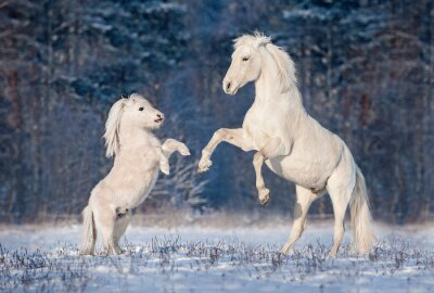 Poster Beautiful white andalusian stallion playing with little shetland pony in winter