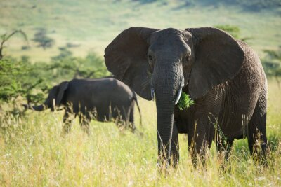 Poster Big african elephant in serengeti national park