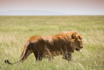 Poster Big Young Lion in Serengeti National Park