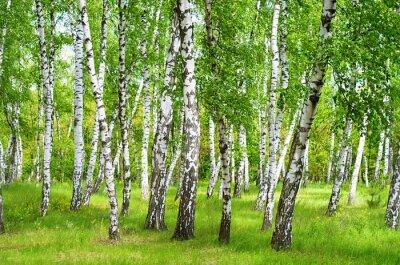 Poster birch grove