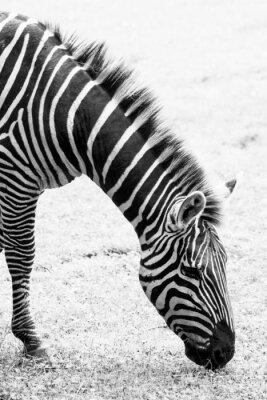 Poster Black and white photo of zebra
