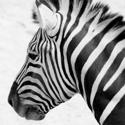 Poster black and white zebra