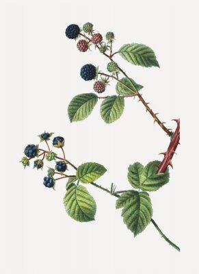 Poster Blackberry bush