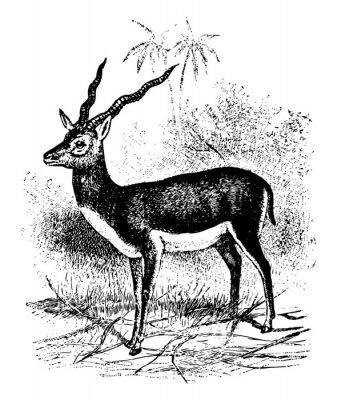 Poster Blackbuck vintage illustration.