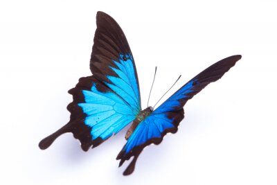 Poster Blue and colorful butterfly on white background