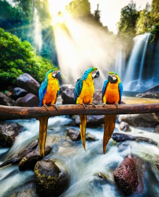 Poster Blue-and-Yellow Macaw Ara ararauna
