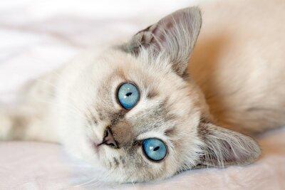 Poster Blue Eyes Kitten