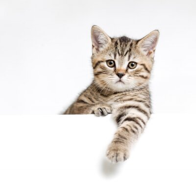 Poster Cat or kitten isolated behind white signboard