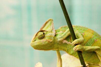 Poster chameleon