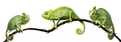 Poster chameleon - Chamaeleo calyptratus on a branch