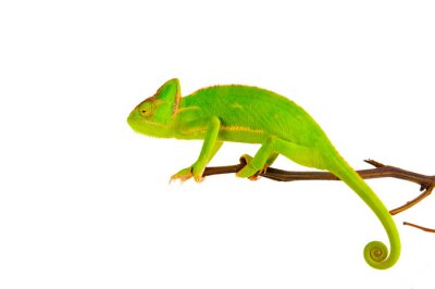 Poster Chameleon on a branch