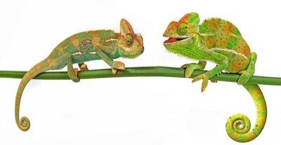 Poster Chameleons